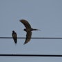 Deux hirondelles sur un fil. Mite02