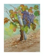Pied de vigne en Gironde.
