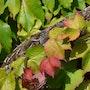 En attendant le raisin…. Australe