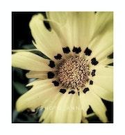 Vintage flowers. Anna Sangiorgio