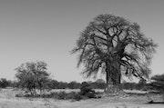 Baobab. Carmen Andreu López